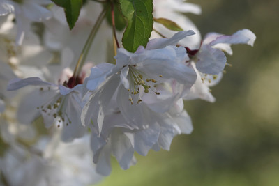 IMG_7321 Arboretum in bloom