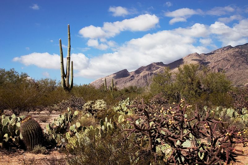 Prickly pear cactus in the hot Arizona desert