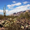 Prickly pear cactus in the hot Arizona desert