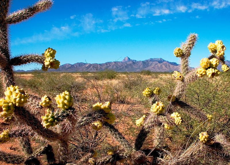 Prickly desert blooms in the hot Arizona sun