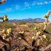 Prickly desert blooms in the hot Arizona sun