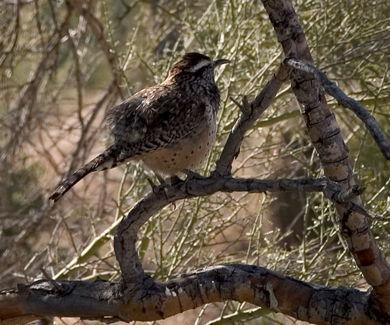 Cactus Wren in the Arizona desert