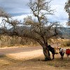 Pack Mules tied to a tree in the desert Arizona