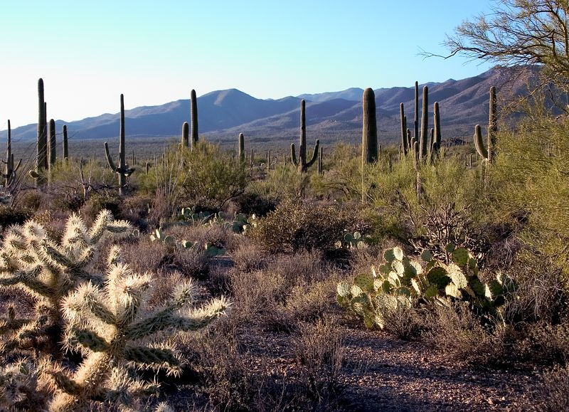 Teddy bear or jumping cactus in the Arizona desert