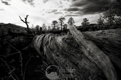 Fallen Toward the Light  I love taking pictures of this old fallen tree on the Sunset Crater Lava Flow trail every trip to Arizona.  My favorite of the bunch so far, even if the sky was a little blown out.  This is an infrared shot, as though the white pine trees weren't a big indicator.