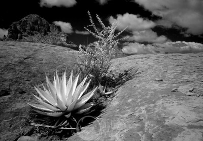 Agave Blanco  Infrared of a couple of plants growing in a crack on Submarine Rock near Sedona.
