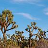 Joshua Tree Forrest, AZ