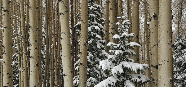 Aspens, Firs and Snow
