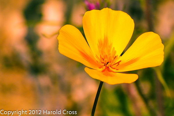 A Wildflower taken Feb. 9, 2012 in Tucson, AZ.