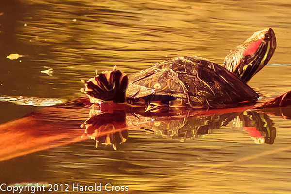 A Turtle taken Feb. 9, 2012 in Tucson, AZ.