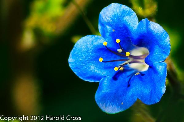 A Wildflower taken Feb. 13, 2012 in Tucson, AZ.