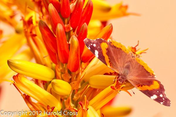 A butterfly taken Feb. 6, 2012 in  Tucson, AZ.