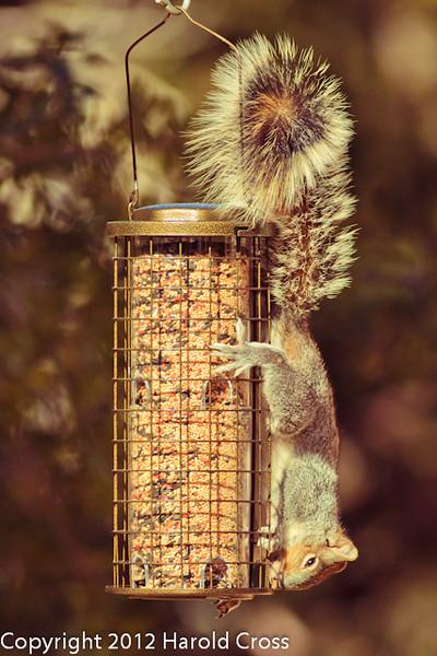 A Squirrel taken Feb. 6, 2012 in  Madera Canyon, AZ.