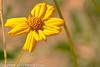A wildflower taken Feb. 3, 2012 near Tucson, AZ.