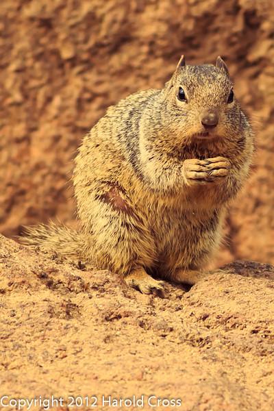 A Squirrel taken Feb. 6, 2012 in  Tucson, AZ.