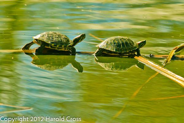 Turtles taken Feb. 6, 2012 in Tucson, AZ.