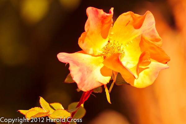 A Wildflower taken Feb. 9, 2012 in Tucson, AZ.