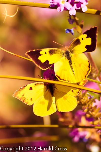 Butterflies taken Feb. 9, 2012 in Tucson, AZ.