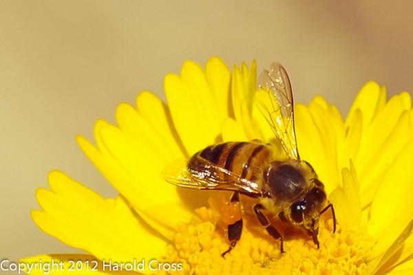 A Bee taken Feb. 9, 2012 in Tucson, AZ.