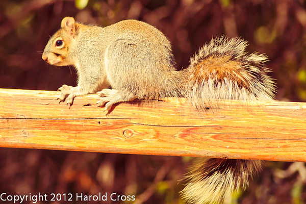 A Squirrel taken Feb. 6, 2012 in  Madera Canyon, AZ.