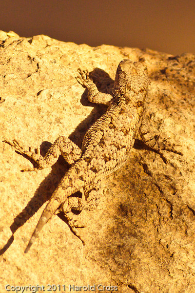 A Lizard taken Nov. 3, 2011 near Tucson, AZ.