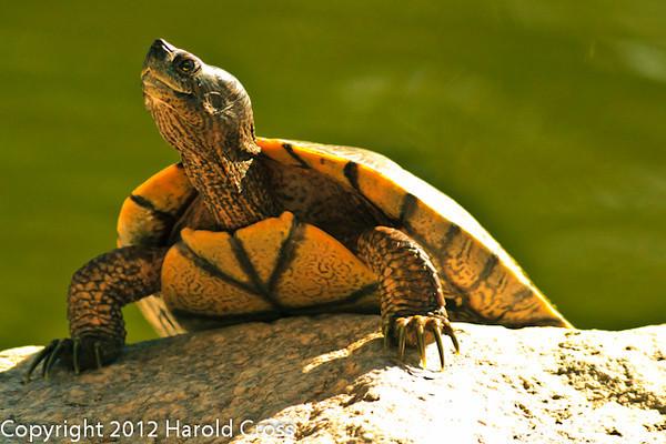A Turtle taken Feb. 25, 2012 in Tucson, AZ.