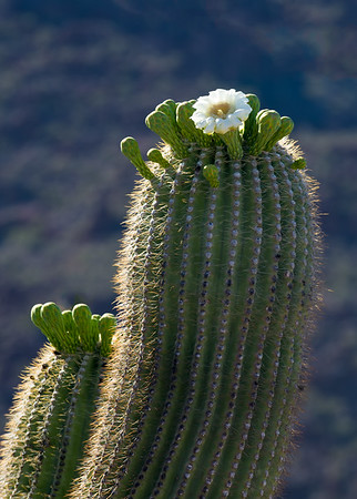 It was hotter than usual, which caused some of the Saguaro Cacti to bloom a month earlier than expected.