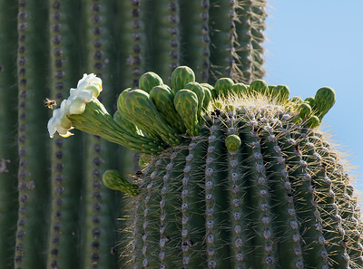 Usually, Saguaro Cacti bloom at night and are pollenated by bats.
