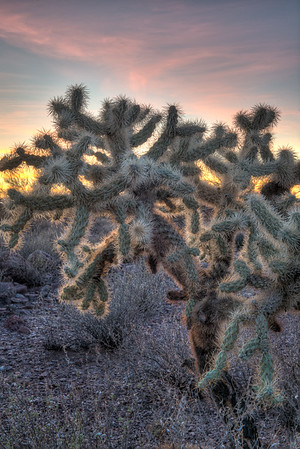 Teddy Bear Cholla at sunset.