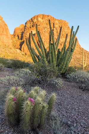 From the northern part of the state near Page, we went next to Organ Pipe National Monument along the border with Mexico. Strawberry Hedgehog Cactus in foreground; Organ Pipe Cactus in mid ground, at Ajo Mountain.