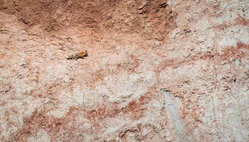 A Fox Roaming Coal Mine Canyon