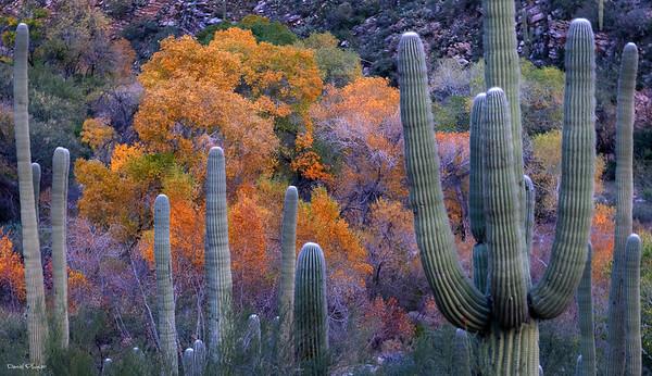 Saguaro Rhapsody