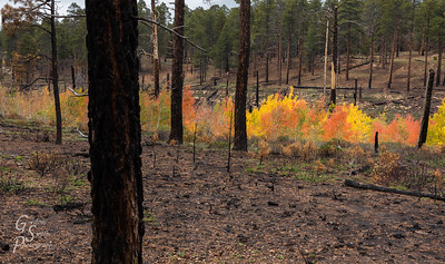 Burnt Trees and New Aspens