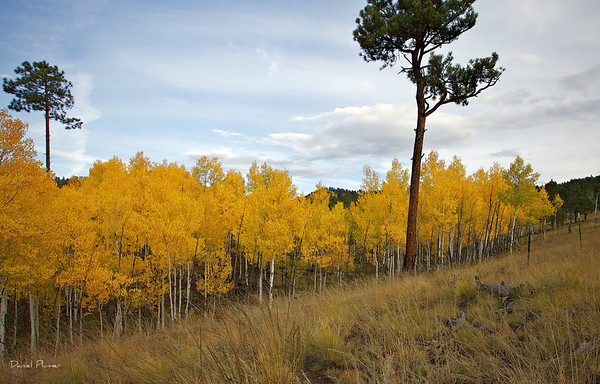 A Hill Of Aspens