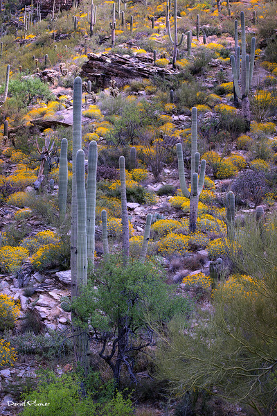 Saguaros And Brittle Bush
