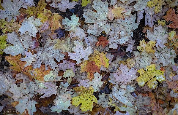 Mount Lemmon Fallen Leaves