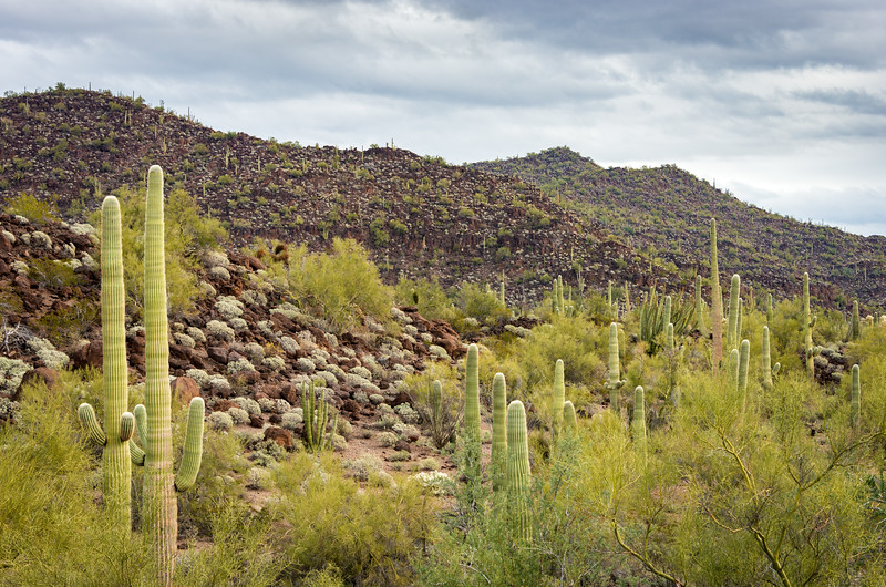 Cactus Filled Landscape of Organ Pipe Cactus National Monument
