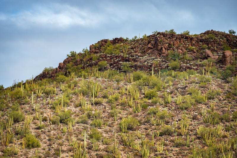 Hill Side View of the Cactus at Organ Pipe Cactus National Monument