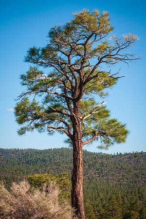 Long Pine Tree at Sunset Crater National Monument