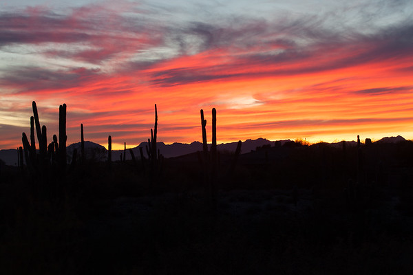 Saguaro Silhouettes At Sunset