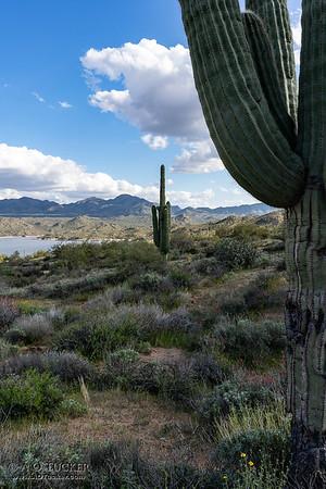 Saguaro Near And Far