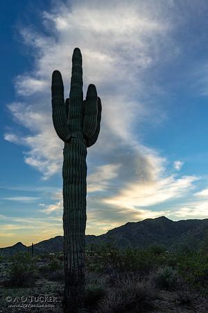 Statuesque Saguaro