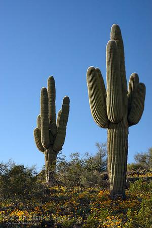 Dos Cactus Peridot Mesa