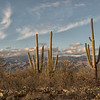 A trio of saguaros