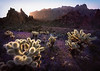 Wildflowers & Cholla