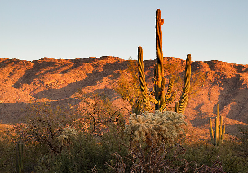 Saguaro and cholla