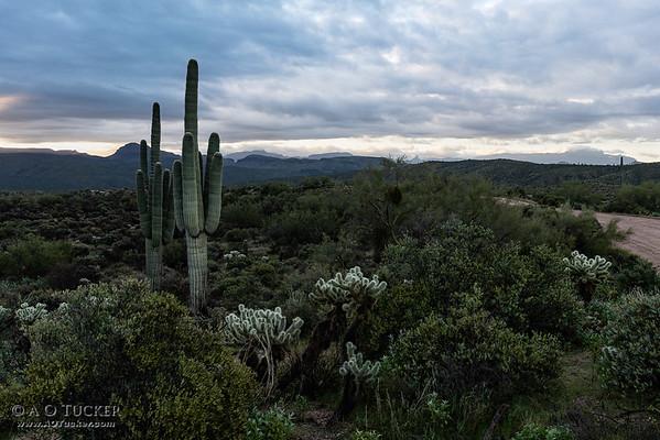 Dos Cactus Tonto National Forest