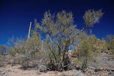 Palo Verde tree