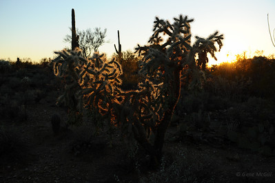 Cholla, Saguaro National Park, Arizona