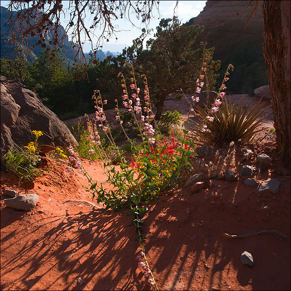 Wildflowers along Schnebly Hill Rd., Sedona, Arizona